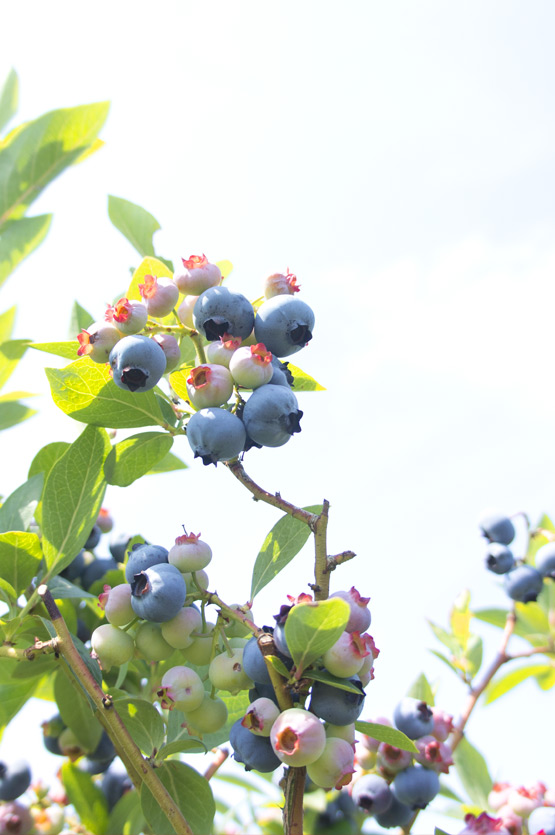 JOELIX.com | Blueberries and pinkberries