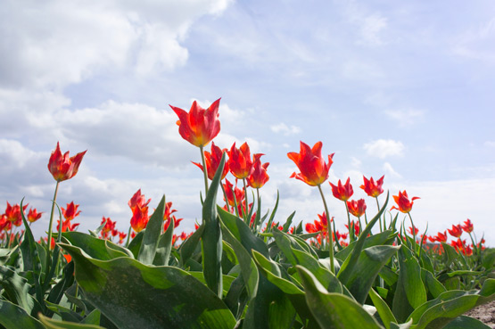 JOELIX.com | Dutch tulip fields
