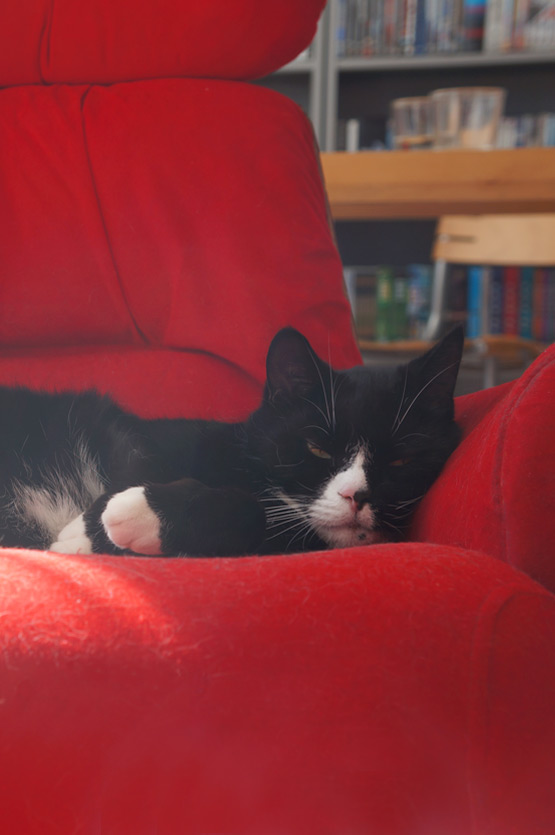 Sleeping black and white cat on red chair