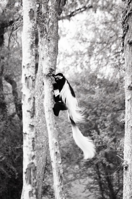 JOELIX.com | La Vallée des Singes - Black and White Colobus monkey