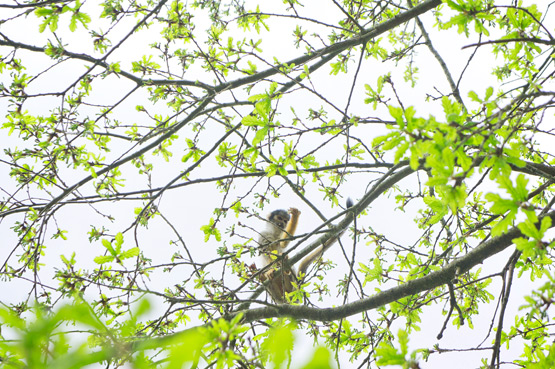 JOELIX.com | La Vallée des Singes - Squirrel monkey