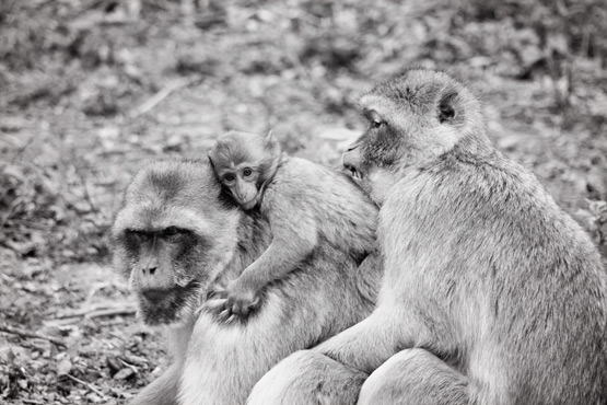 JOELIX.com | La Vallée des Singes - Magot monkeys