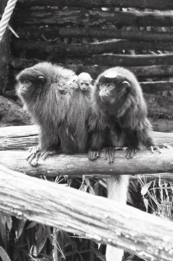 JOELIX.com | La Vallée des Singes - Titi monkeys
