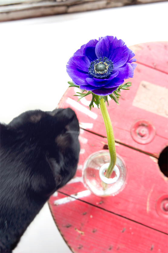 JOELIX.com | Colorful anemones and a black cat #2flowergirls