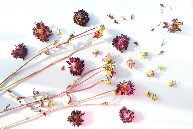 JOELIX.com | Withered Dahlias