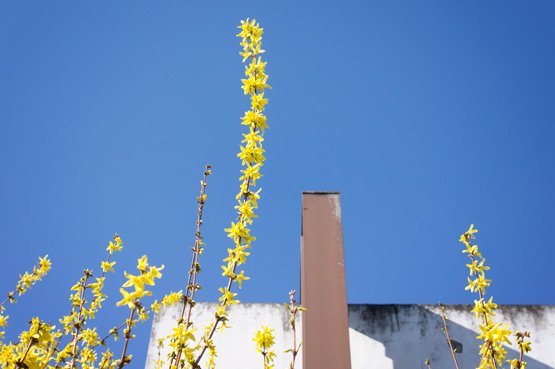 JOELIX.com | Yellow Forsythia and blue sky at Studio Sapique in France